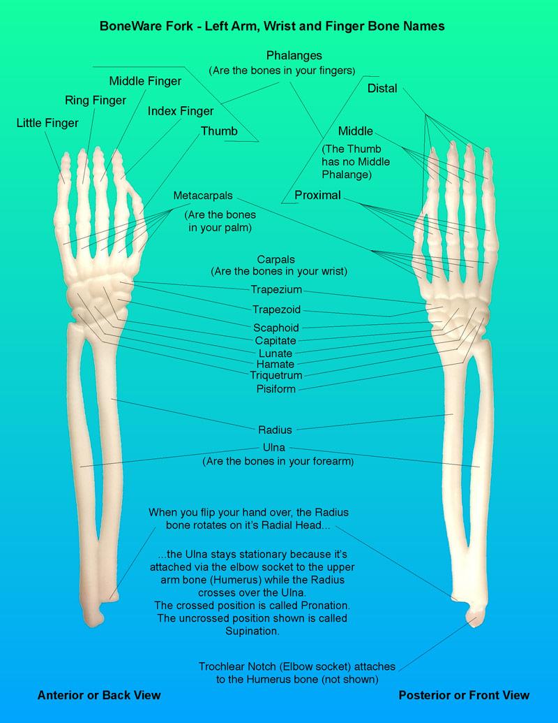 BoneWare Cutlery Fork