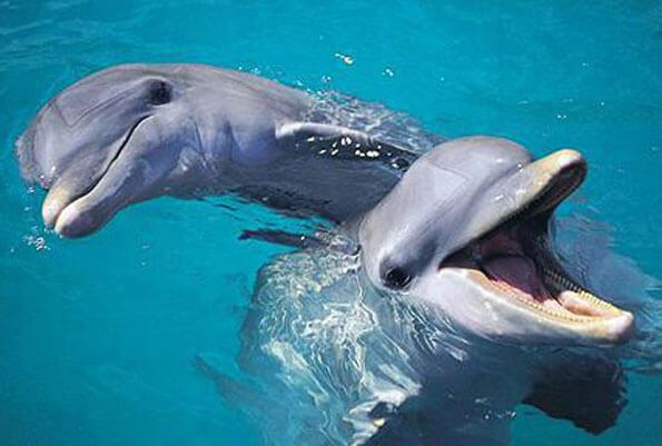 two dolphins swimming in water