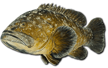 grouper-fish