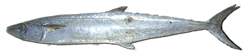 king-mackerel-fish