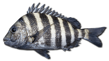 sheepshead-fish