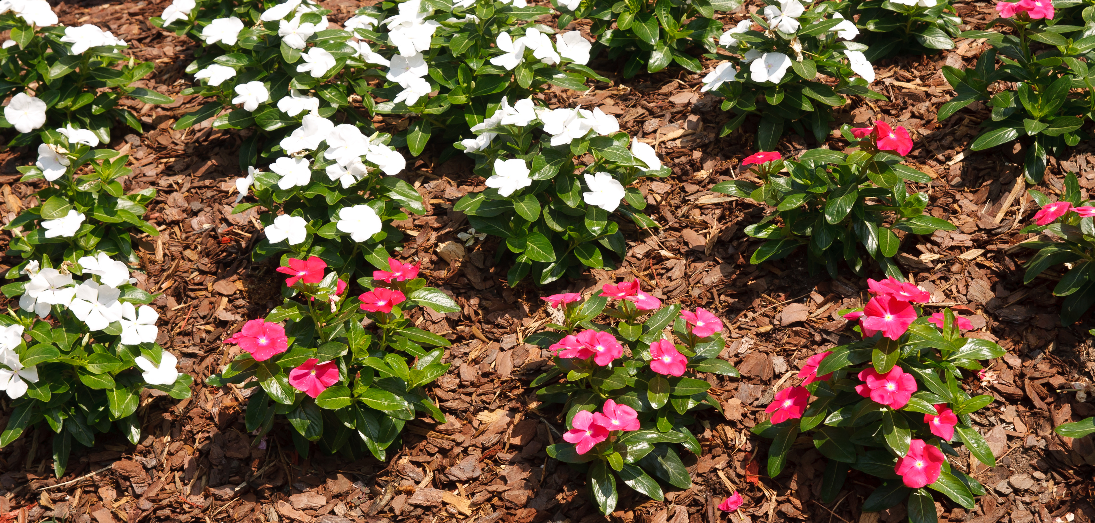 flowerbed with pink flowers and mulch
