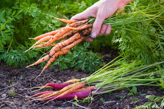 Carrots being harvested