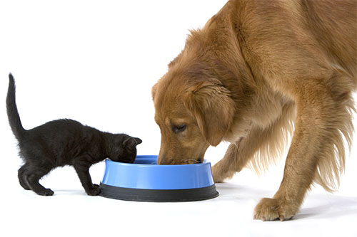 Image of a dog and cat eating out of the same food bowl