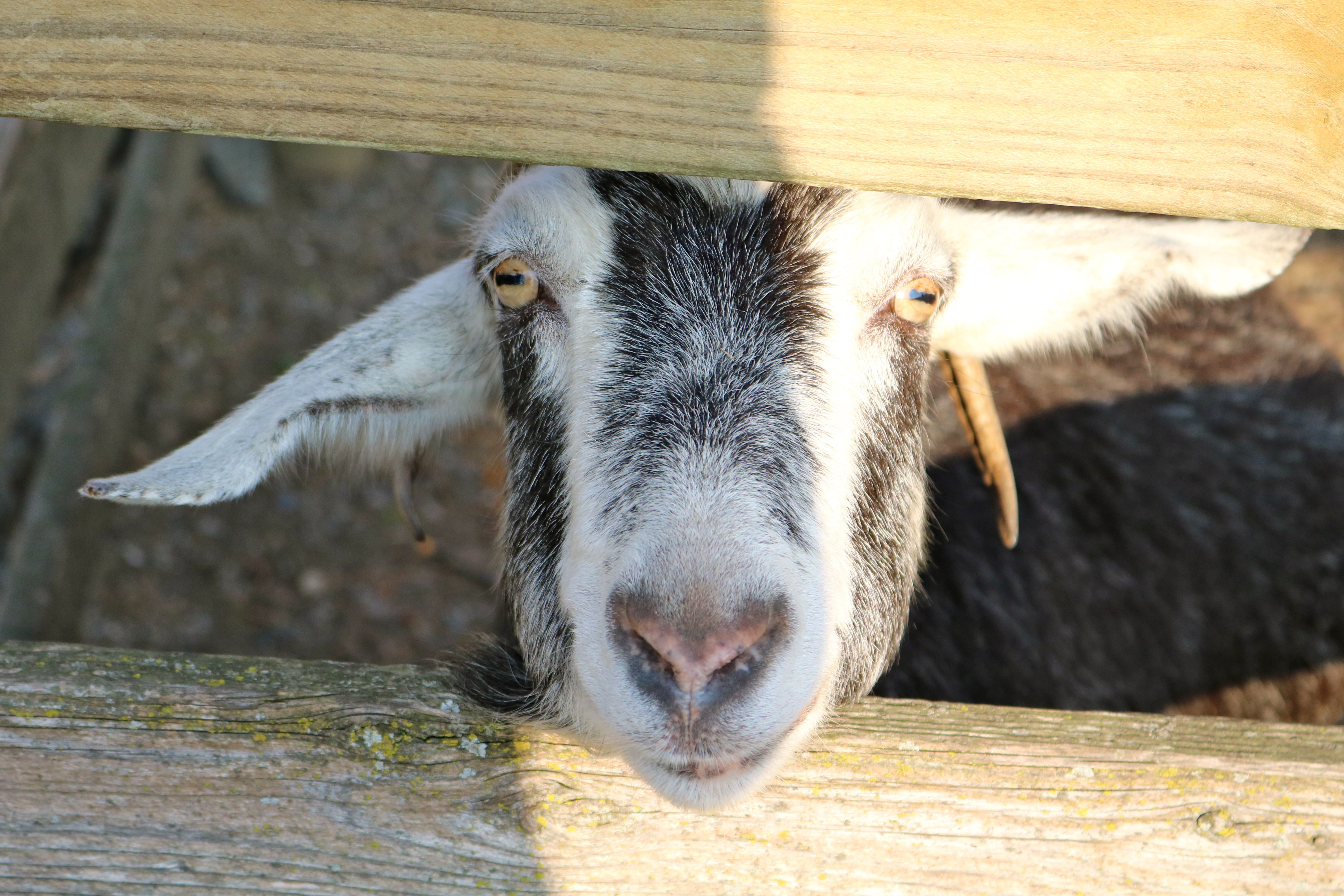 the face of a goat sticking out from between two fence boards