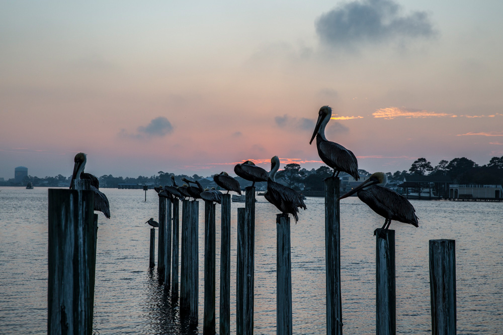 a group of pelicans perched at sunset
