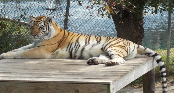 a tiger relaxing at Alabama Gulf Coast Zoo