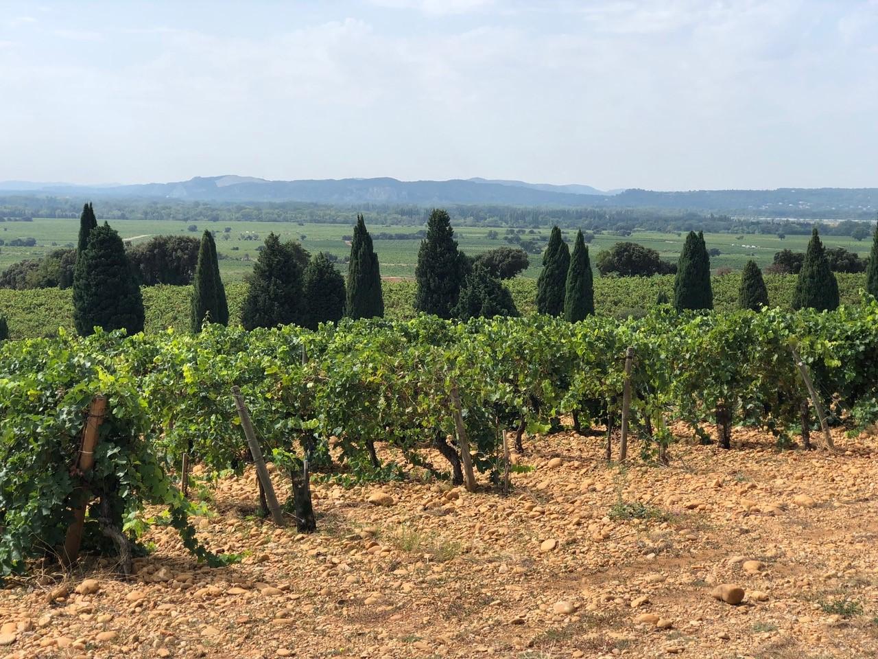 Fields of grape plants