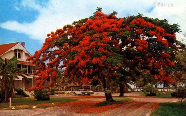 an ornamental tree on Olde Marco Island