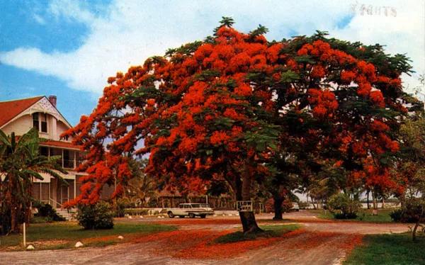an ornamental tree on Olde Marco Island