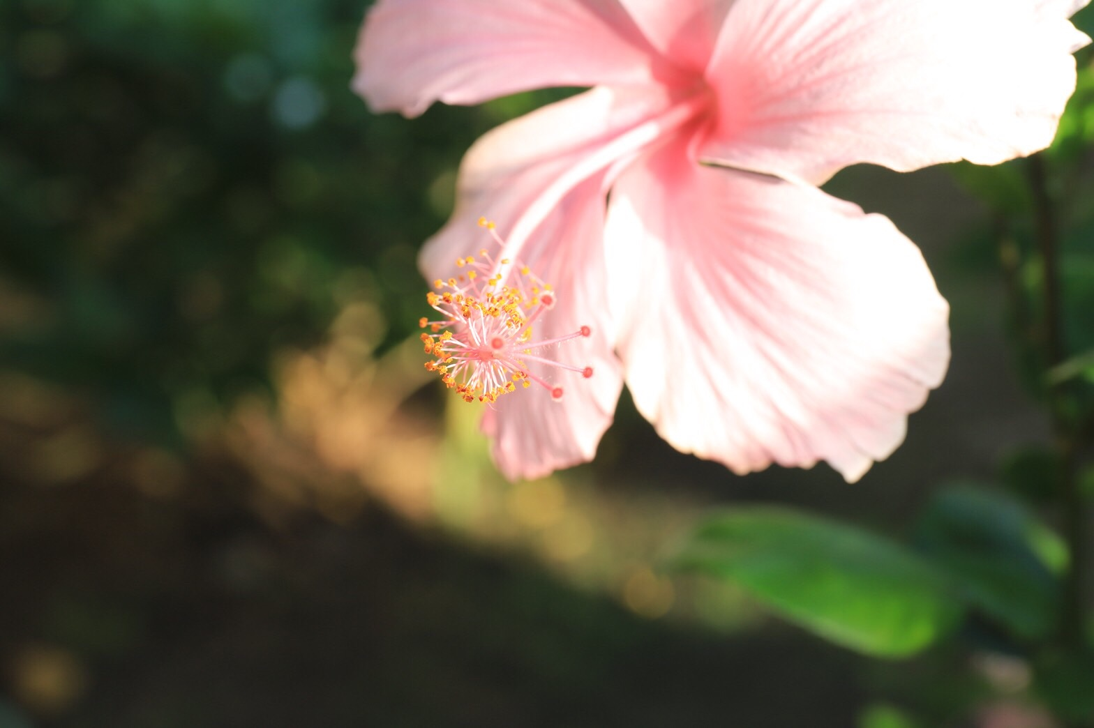 Close Up view of a pink hibiscus flower on the property Siesta Key Bungalows