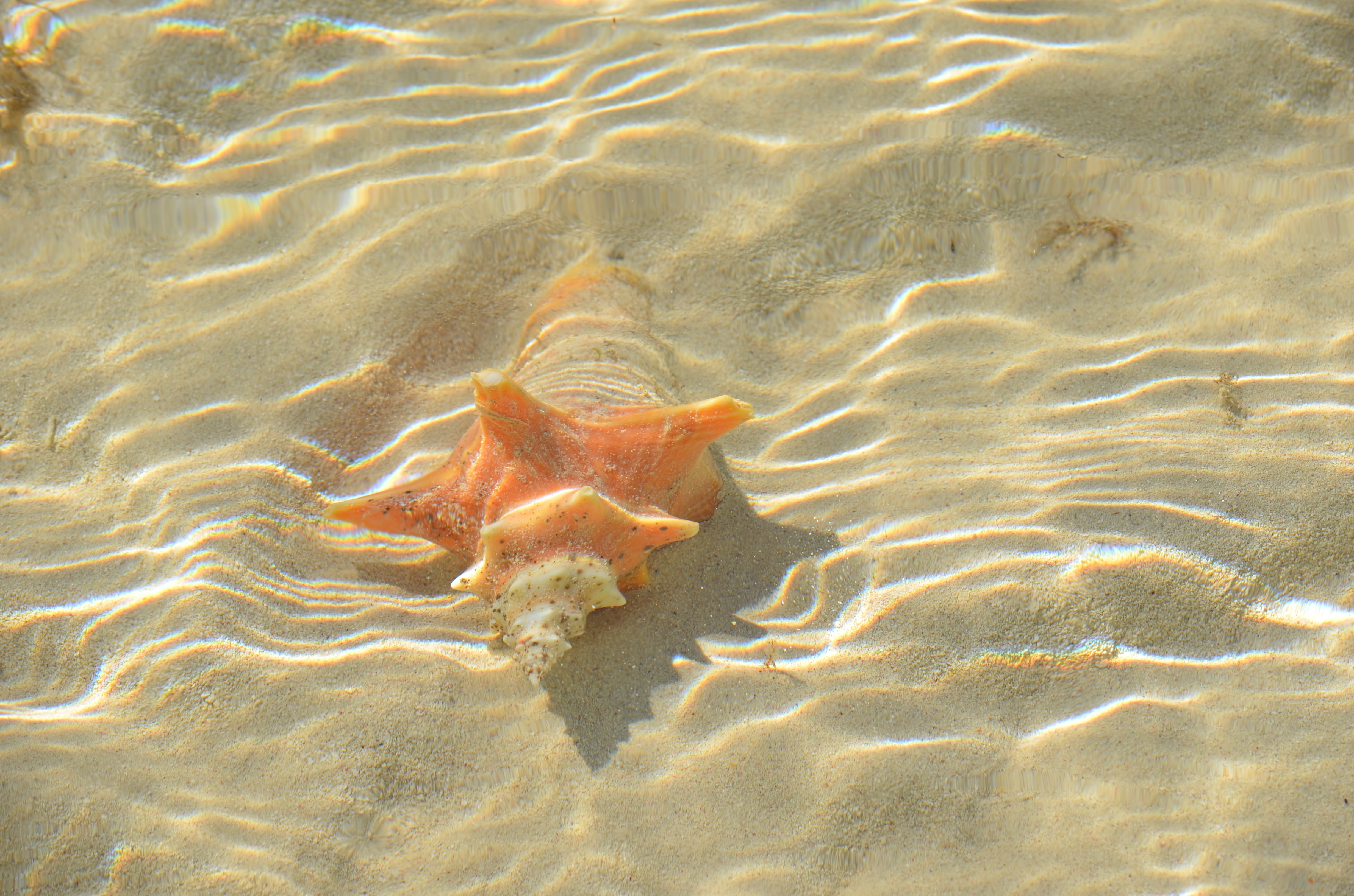 Image of a conch shell in the sparkling waters of Siesta Key Beach