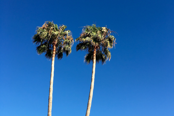 View looking up at tall palm trees at Siesta Key Bungalows