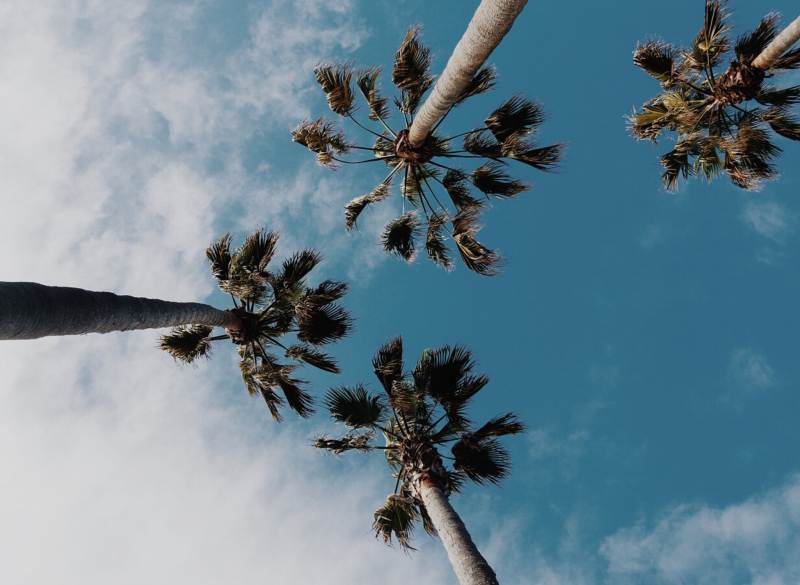 Looking up at Palm trees